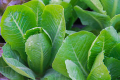Green choy sum in growth at vegetable garden Stock Images