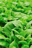 Green choysum Stock Photography