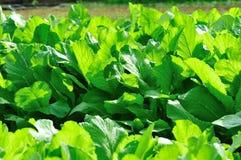 Green choysum Stock Images