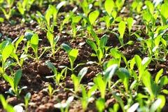 Green choysum Stock Photo