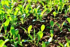 Green choysum in growth Stock Photos