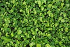 Green choysum plants in growth Royalty Free Stock Photos