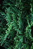 Green Christmas leaves of Thuja trees background. Beautiful green christmas leaves of Thuja trees. Thuja twig, Thuja occidentalis is an evergreen coniferous tree stock images