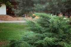 Green Christmas tree branch in golden highlights and bokeh royalty free stock photo