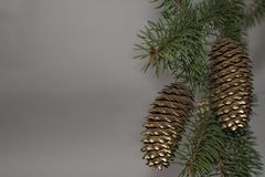 Green Christmas tree with Golden pine cones on the branches. Green Christmas tree with Golden pine cones on branches with gray blurred background Stock Image