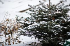 Green Christmas tree in the snow royalty free stock image