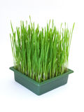 Green christmas wheat Stock Photography