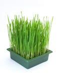 Green christmas wheat Stock Photography