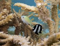 Green Chromis and Humbug Dascyllus Stock Image
