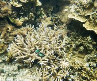 Green Chromis in Staghorn Coral. Undersea view of the Great Astrolabe Reef with natural staghorn coral and green chromis fish in the Pacific Ocean waters off Royalty Free Stock Photography