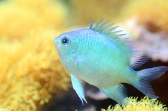 The Green Chromis Royalty Free Stock Images