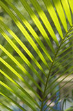 Green Chrysalidocarpus leaves under light Stock Photography