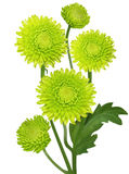 Green Chrysanthemum Royalty Free Stock Photo