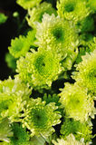 Green chrysanthemum Stock Image