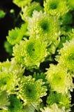 Green chrysanthemum Stock Image