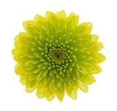 Green chrysanthemum Royalty Free Stock Photo