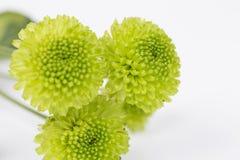 Green Chrysanthemum Flower Royalty Free Stock Image