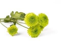 Green Chrysanthemum Flower Royalty Free Stock Photos