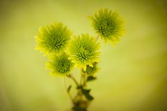 Green Chrysanthemum Flowers Royalty Free Stock Photos