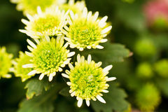 Green chrysanthemum flowers Royalty Free Stock Photo
