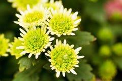 Green chrysanthemum flowers Royalty Free Stock Photo