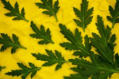 Green chrysanthemum leaves on yellow crumpled paper Stock Image