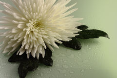 Green chrysanthemum. The white chrysanthemum, two green leaves, water drops on a white background is shined with green light Royalty Free Stock Images
