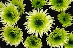 Green chrysanthemums Stock Photo