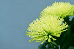 Green chrysanthemums on bluer background. Lime green chrysanthemums on bluer background royalty free stock photo