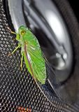 Green Cicada Stock Photo