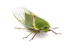 Green Cicada. A green cicada on a white background Royalty Free Stock Photography