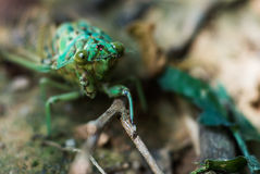Green Cicada at Brazil Jungle. Royalty Free Stock Photos