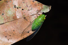 Green cicada on dried leaf Royalty Free Stock Photos