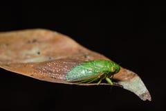 Green cicada on dried leaf Stock Photos