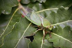 Green Cicada on leaf. Closeup of camouflaged green cicada insect on leaf Stock Images