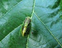 Green cicada Stock Photos