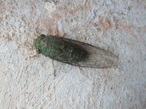 Green Cicada Stock Photography