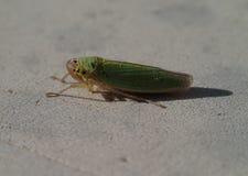 Green cicada Stock Photo