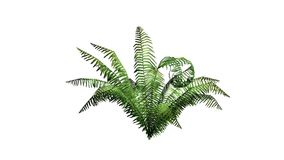 Green cinnamon fern plant. Isolated on white background Royalty Free Stock Photos