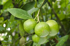 Green citrus. Green citrus hanging on branch use for any food in asia Stock Image