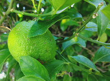 Green citrus fruit on the tree. In Greece Stock Images