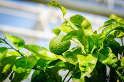 Green citrus fruit on tree with green leaves in sunshine.  Royalty Free Stock Photography