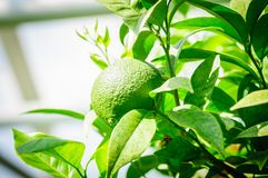 Green citrus fruit on tree with green leaves in sunshine.  Royalty Free Stock Image