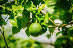 Green citrus fruit on tree with green leaves in sunshine.  Stock Photo