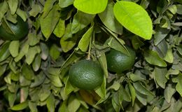 Green Citrus Fruits Royalty Free Stock Images