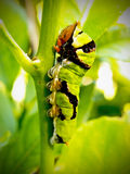 Green Citrus Swallow tail caterpillar Stock Photo