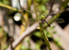 Green Clearwing dragonfly. Perching on a rose stem Royalty Free Stock Photography