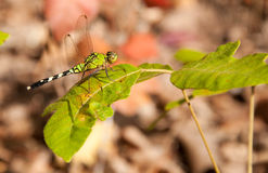 Green Clearwing dragonfly resting on a leaf. Of poison oak Royalty Free Stock Photography