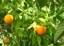 Green clementine trees Royalty Free Stock Photography