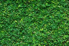 Green climbing plant background Stock Images